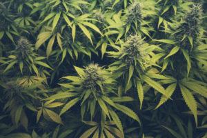 cannabis legale cannabis shop marijuana
