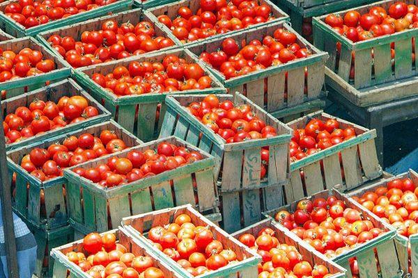 20041105 - BOLOGNA - ECO - ALIMENTARE: GARDINI, CON POMODORI CINESI SICUREZZA A RISCHIO - Un'immagine d'archivio che mostra una notevole quantita' di pomodori esposti in un mercato. Attenzione ai pomodori cinesi che, oltre a rappresentare un terzo di quelli consumati nel 2003 dagli italiani, sono un rischio per la salute a causa dell'alto contenuto di prodotti chimici con cui sono trattati e pure perche' provenienti anche da organismi geneticamente modificati. A lanciare l' allarme e' Maurizio Gardini, presidente di Conserve Italia, il maggiore gruppo europeo nella trasformazione di ortofrutticoli. ''Chiediamo che l' origine del prodotto sia dichiarata per legge nell' etichetta - ha detto a margine della presentazione dei dati di bilancio a Bologna - perche' i consumatori devono sapere se una passata e' stata ottenuta da pomodoro fresco italiano oppure e' una diluizione in acqua di concentrato di pomodoro proveniente dalla Cina o dalla Turchia.    VALDRIN XHEMAJ/ANSA-ARCHIVIO/TO